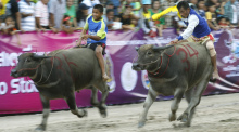 Buffalo Racing Festival in Chonburi