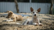 Foto: Soi Dog Foundation