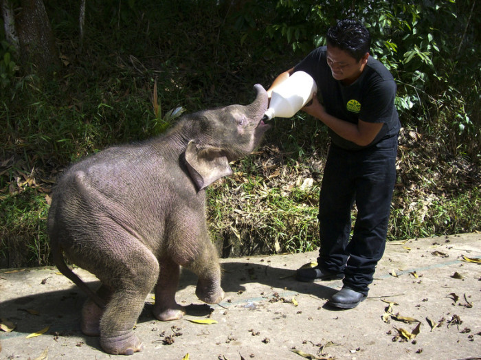 Ein junger Borneo-Elefant in einer Schutzstation des Sabah Wildlife Department. Foto: epa/Sabah Wildlife Department