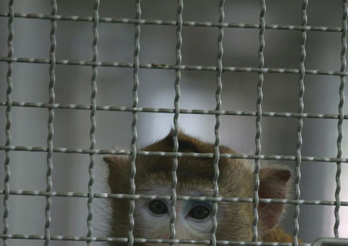 Affe im National Primate Research Center of Thailand-Chulalongkorn University (NPRCT-CU).Foto: epa/Narong Sangnak
