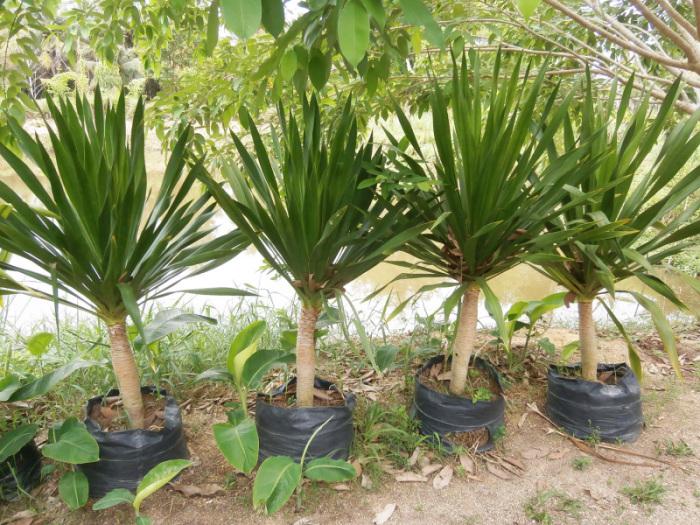 yucca palme die teuerste pflanze im garten. Black Bedroom Furniture Sets. Home Design Ideas